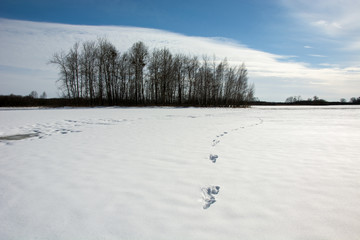 Traces on snow and copse