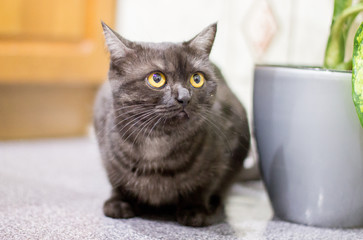 black cat with beautiful eyes
