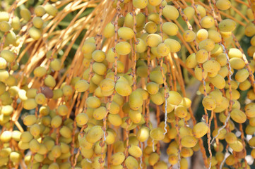 Yellow dates on the date palm tree, food