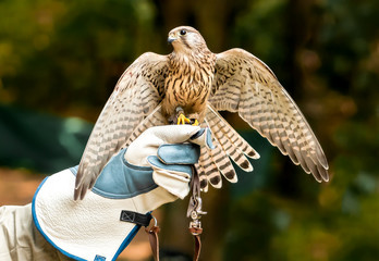Hawk on handlers hand with open wings.