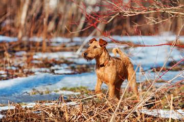 Irish Terrier walks in the forest in spring