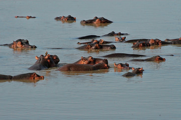 A herd of hippopotas in the South Luangwa River, Zambia