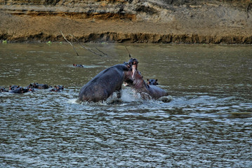 Fight of two male hippopotas in the South Luangwa River, Zambia