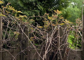 Fences: Wooden fence with climber plant in springtime