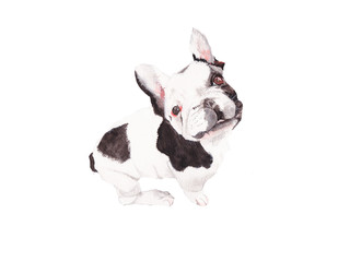 Bulldog ,Dog  Watercolor painting. Watercolor hand painted cute animal illustrations.