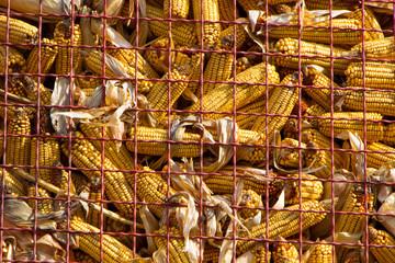 Corn in maize storage