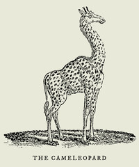 the cameleopard giraffe in profile view (after a vintage woodcut, illustration, engraving from the 18th century)
