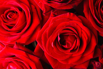 Dark red roses , close up view
