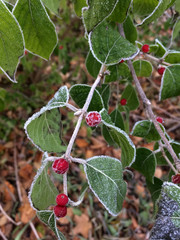 Red Berries and Green Leaves in Frost