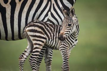 Canvas Prints Zebra Close-up of baby plains zebra beside mother