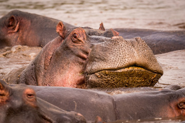 Close-up of hippopotamus resting head on another