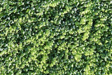 natural green ivy leaves wall background