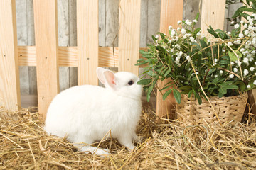Easter Bunny walking through the straw. decorative pet: fluffy Bunny. concept: healthy food and dietary meat. pet against a wooden fence, fresh spring flowers. Wallpaper for desktop