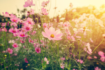 field cosmos flowre and sunset with vintage tone.