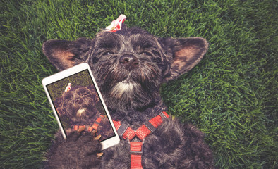 cute terrier laying in the grass during summer taking a selfie toned with a retro vintage instagram filter app or action effect