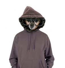 studio shot of a cute chihuahua with glasses and a hoodie on isolated on a white background