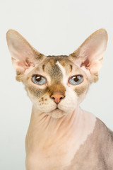 Bold sphinx cat with blue eyes close studio portrait looking at camera