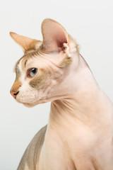 Bold sphinx cat with blue eyes close studio portrait