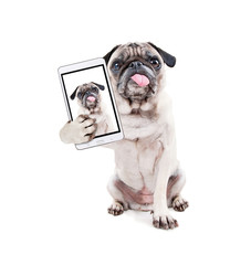 cute pug puppy with her tongue hanging out in the studio isolated on a white background taking a selfie