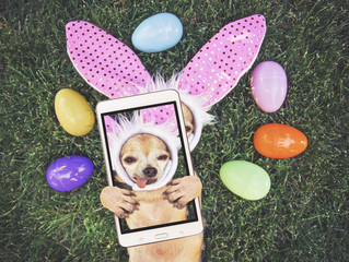 authentic photo of a cute chihuahua with rabbit ears on and his tongue out surrounded by Easter eggs taking a selfie toned with a retro vintage instagram filter app or action effect