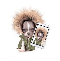 photo of a cute french bulldog puppy in a hoodie jacket studio shot on an isolated white background taking a selfie