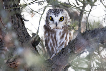 Saw-whet Owl perched in a tree