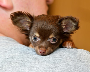 Baby Brown Long-haired Chihuahua being cuddled