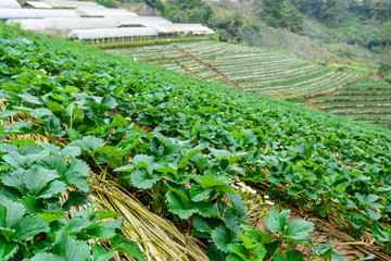 The image of green bushes of a strawberry growing in the farm at Doi ang khang,Chiang Mai, Thailand.