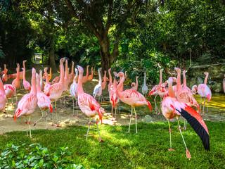 Group of pink flamingos among green trees. Animal world