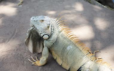 Wild giant iguana in zoo,