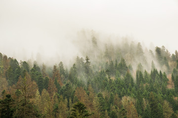 coniferous green trees in the fog, clouds in the mountains landscape background