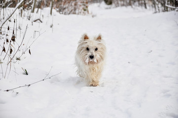 West Highland White Terrier in the snow