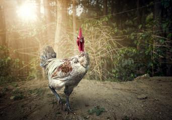 The aggressive cock