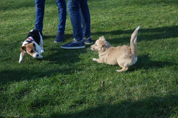 Two small dogs playing near their owners' feet on grass in park