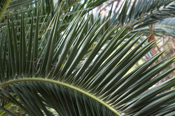 The leaves of the date palm. Natural background. Close-up.