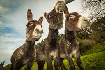 tres burros