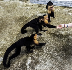 Monkey on my back. White faced Capuchin monkey family, including mother with her little one on her back, accepting some banana from a human in Quepos, Costa Rica.