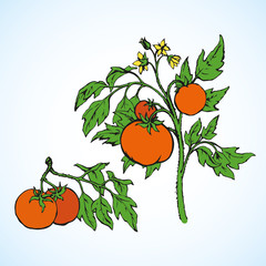 Tomatoes. Vector drawing