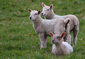 Three Lambs in a field