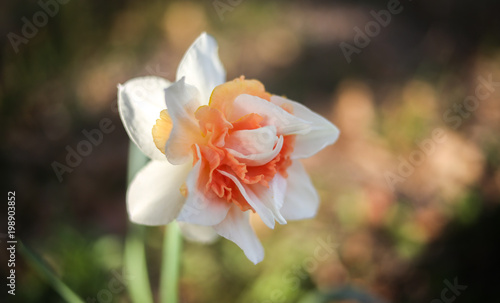 Pink Narcissus Double Daffodil Flower Stock Photo And Royalty Free