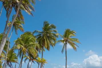 palm trees and blue sky - palm tree  background -