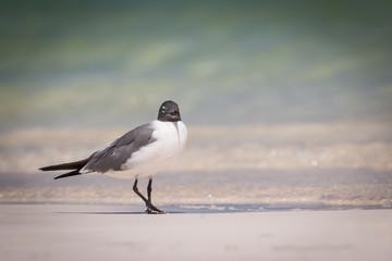 Laughing Gull  - Larus atricilla - Walking On The Beach Sand