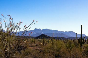 Organ Pipe Cactus National Monument in southern Arizona at dawn, showing flowering Ocotillo, Giant Saguaro, Palo Verde, and the Ajo Mountains