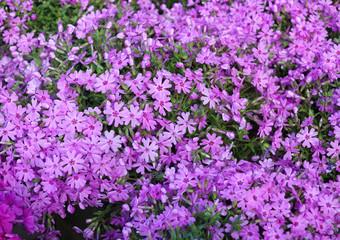 pink flower blooming in spring season