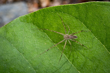 Image of Four-spotted Nursery Web Spider (Sphedanus quadrimaculata) on green leaves. Insect Animal