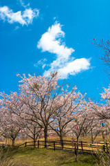 Cherry blossom of Nagara dam in Chiba prefecture