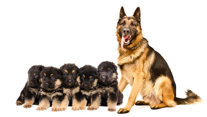 German Shepherd dog with puppies, sitting isolated on white background