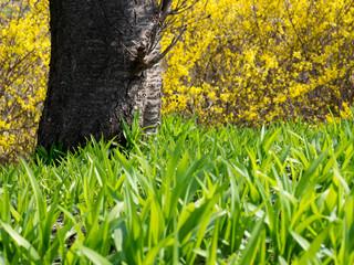 Fresh green grass with yellow forsythia koreana flowers