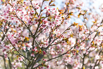 A blooming branch of apple tree in spring.