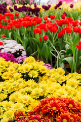 Colorful tulips and flowers blooming in cozy garden./ Variety of spring flowers and tulips blooming in beautiful cozy garden on summer.